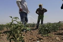 بازدید و مشاوره در مزرعه صیفیجات