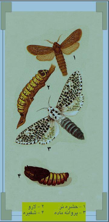 مراحل تبدیل شفیره کرم خراط به حشره و پروانه فری