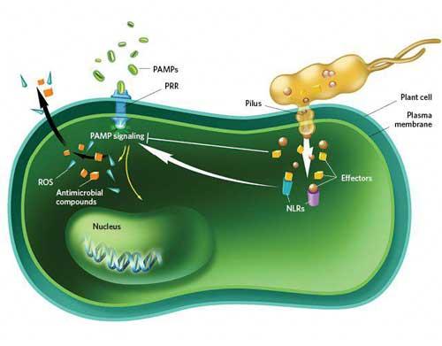باکتری در سلول گیاهی
