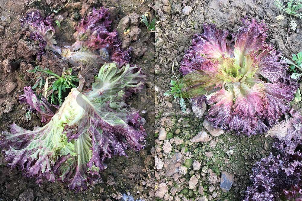 مقابله با بیماری های قارچی کاهو در گلخانه