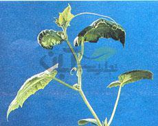 علائم کمبود کلسیم گیاهان