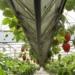 https://abanagri.com/strawberry-botany/