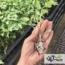 کیفیت نهایی نشاها قبل از انتقال به مزرعه یا گلخانه