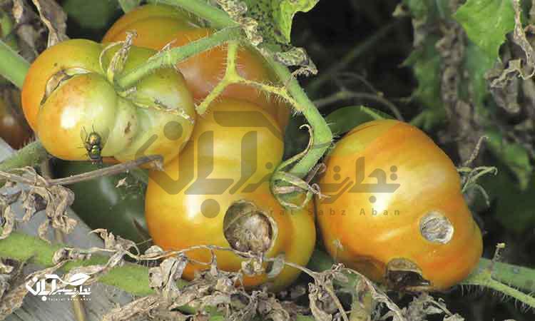 جمع آوری میوه های فاسد