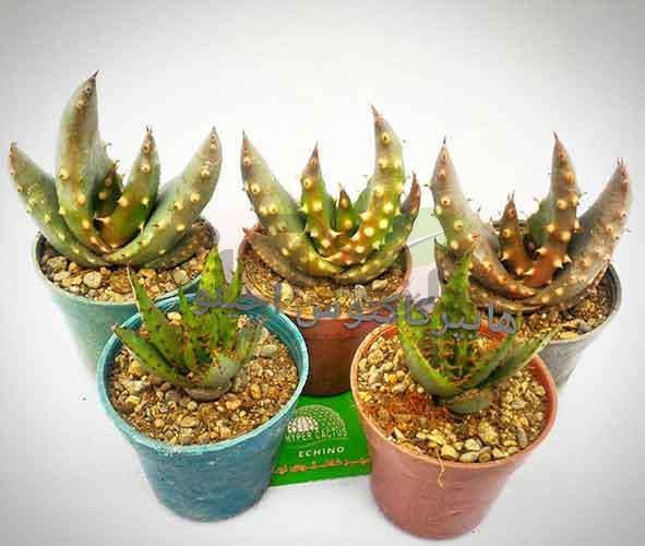 آلوئه خاردار Aloe aculeata