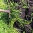 کود سبز عامل حاصل خیزی و کاهش علف های هرز