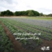 https://abanagri.com/fertilization-to-transplant-after-planting-in-the-field/