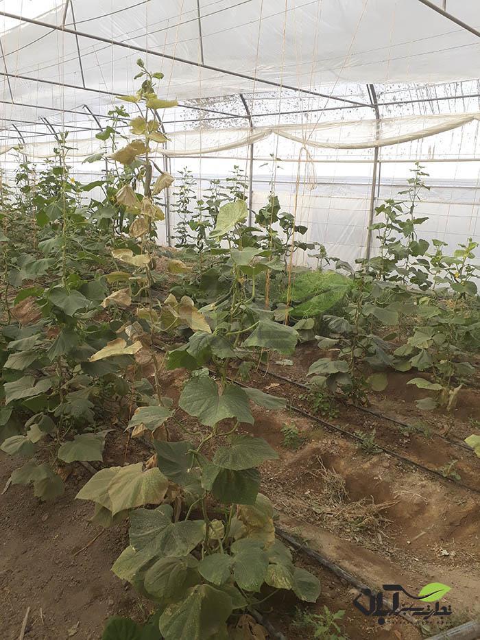خسارت کنه به گلخانه خیار در شهریار