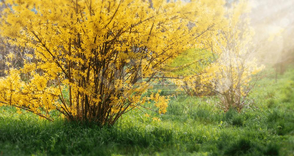 درختچه گل یاس زرد