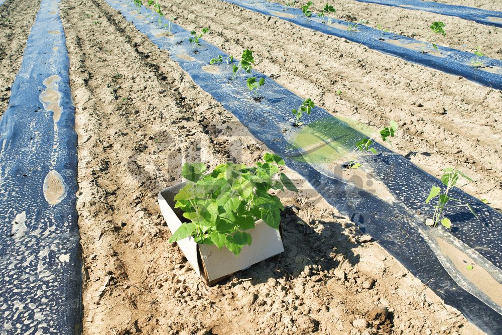 آماده سازی زمین برای کاشت نشاء پالونیا