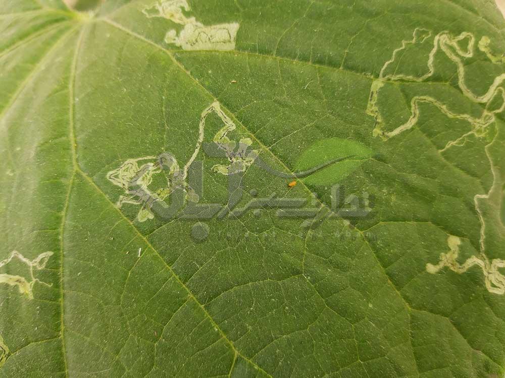 اثر مگس مینوز بر روی برگ خیار گلخانه ای