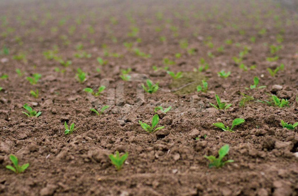 مزرعه چغندر لبویی