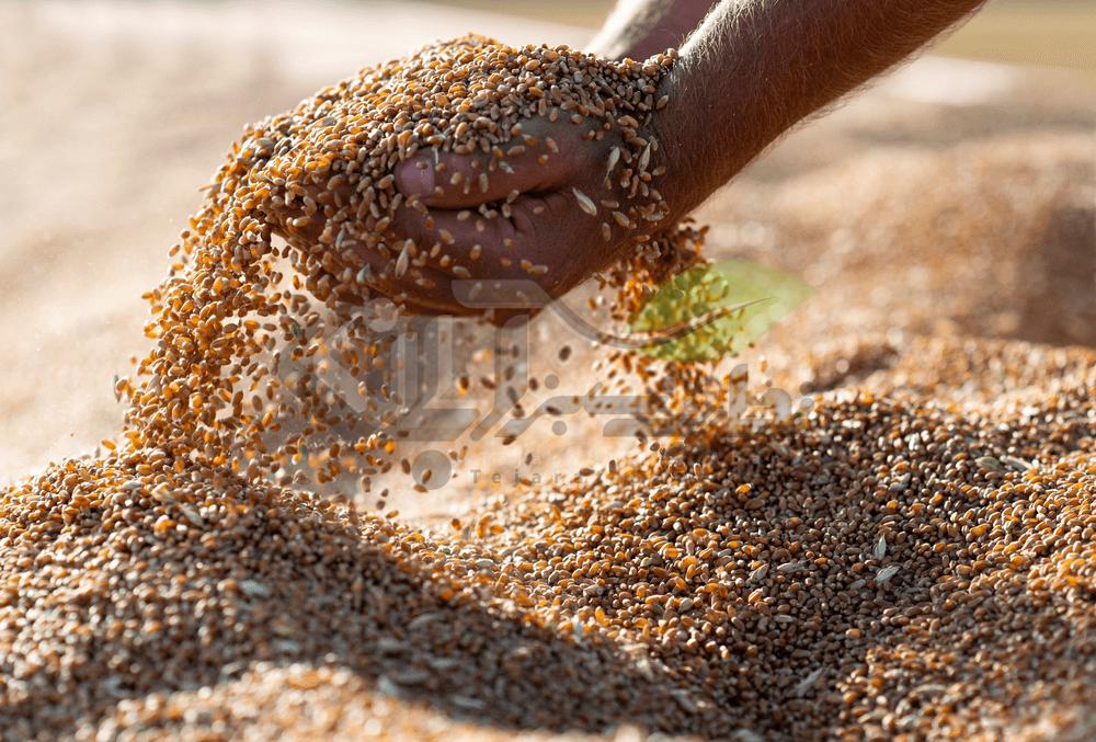 گندم برداشت شده