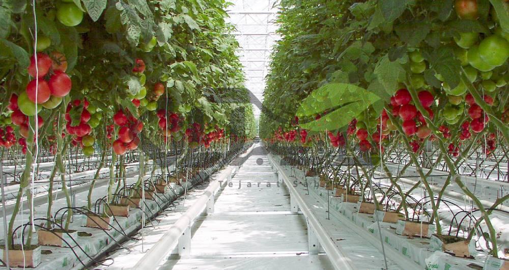 گلخانه گوجه فرنگی هیدروپونیک