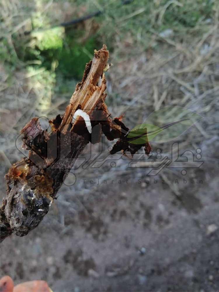 کرم چوب خوار در ساقه درخت