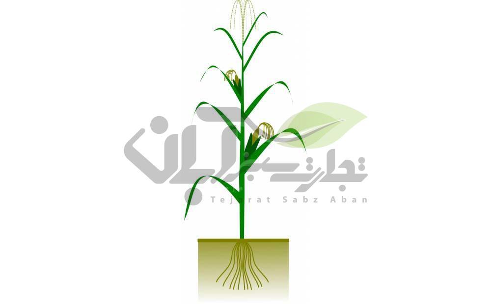 گیاه ذرت و برگ های ذرت