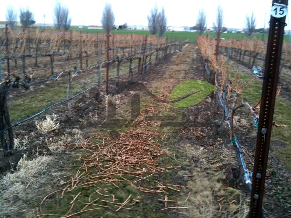 جمع آوری چوب های هرس شده درخت انگور