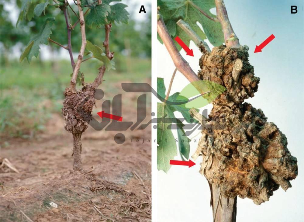 بیماری باکتریایی گال طوقه درخت انگور
