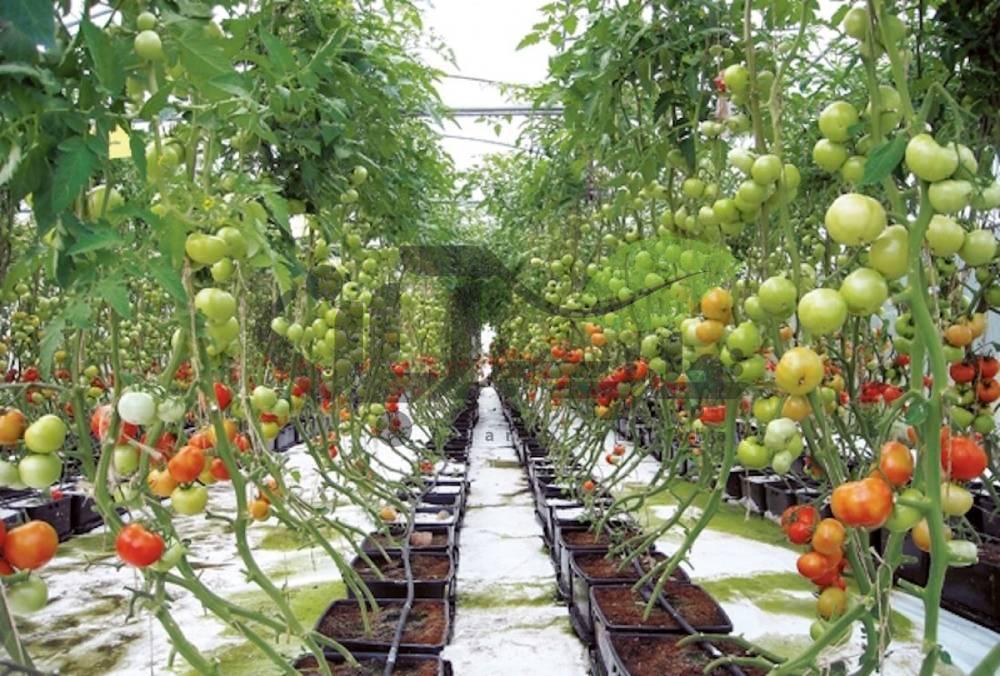 سیستم آبیاری گلخانه گوجه فرنگی