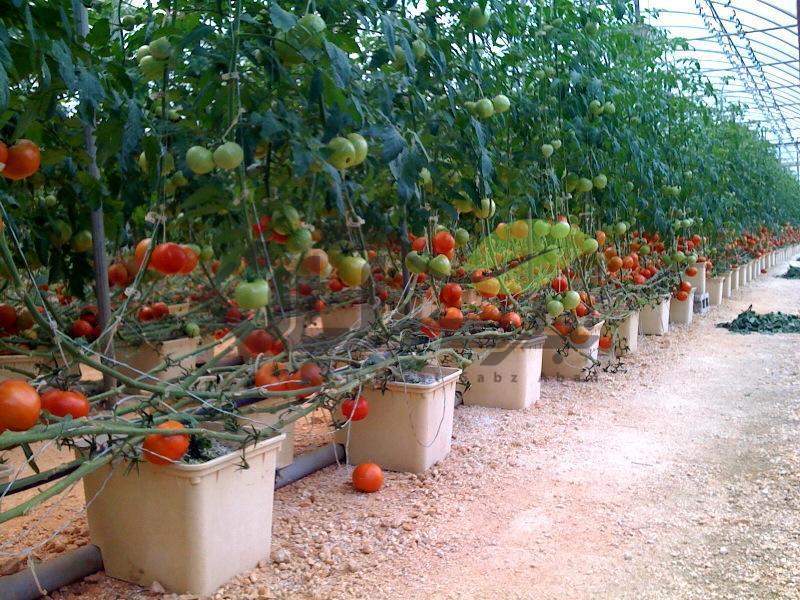 کشت گلخانه ای هیدروپونیک گوجه فرنگی