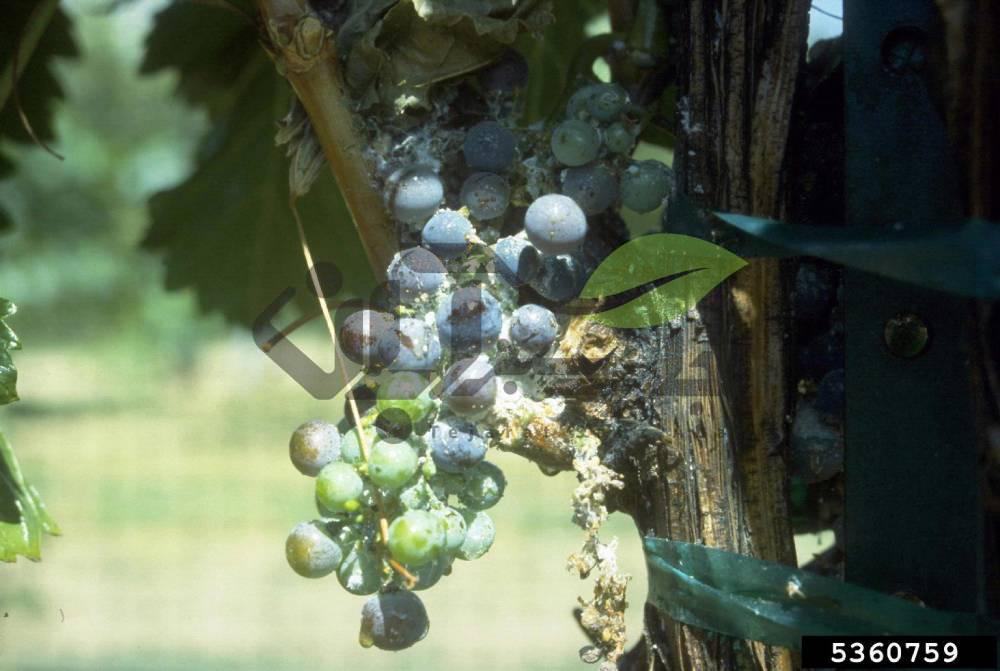 شپشک آرد آلود در دخت انگور