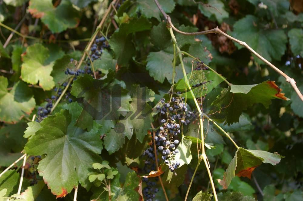 بیماری باکتریایی Pierce درخت انگور