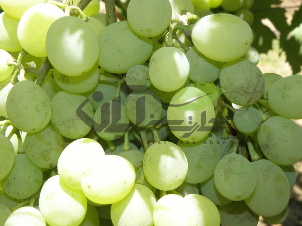 آفت تریپس در درخت انگور