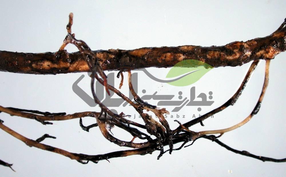 پوسیدگی ریشه درخت انگور