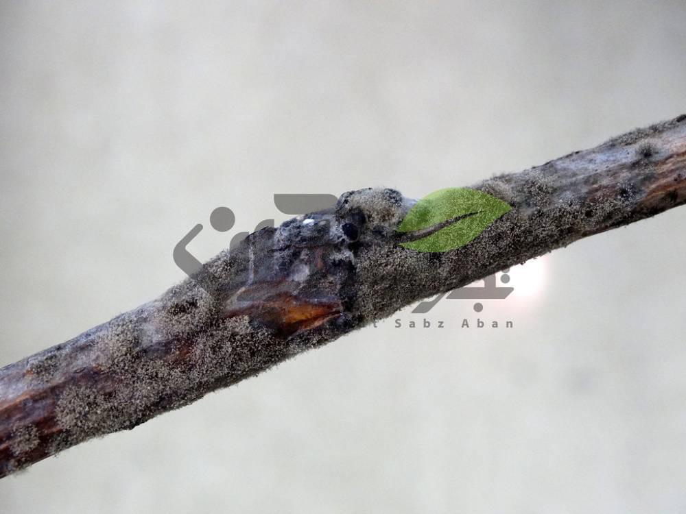 پوسیدگی قارچی درخت انگور