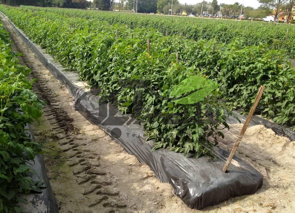 زمین گوجه فرنگی مالچ کشیده شده