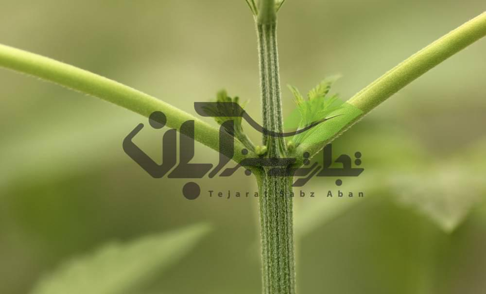 اندام جنسی نر و ماده در گیاه خربزه