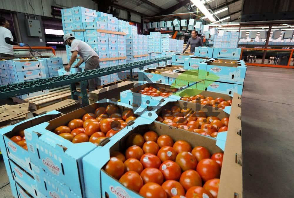 بسته بندی گوجه فرنگی