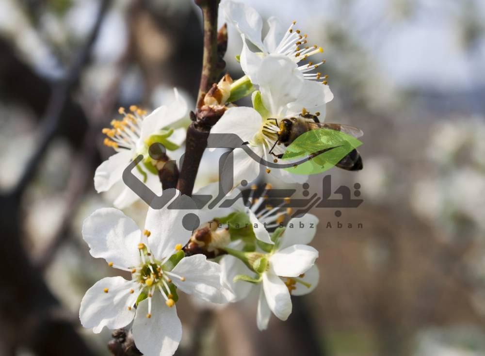 گرده افشانی توسط زنبور