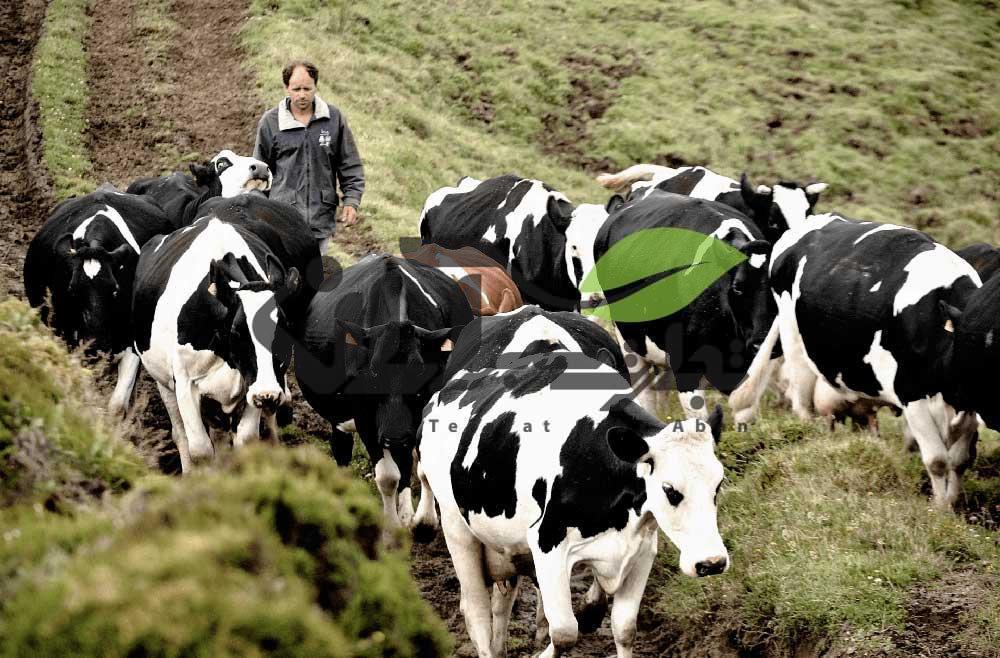 چرای گاوها در طبیعت