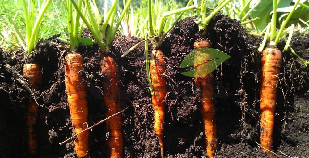 گیاه هویج