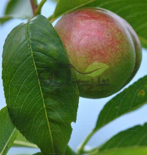 هلو رقم Prunus mira