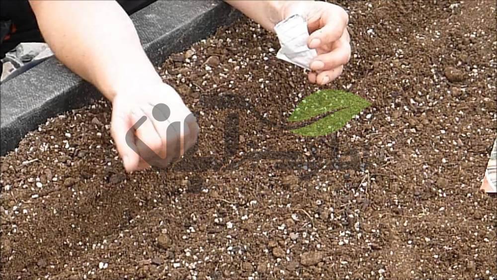 کشت بذر هویج