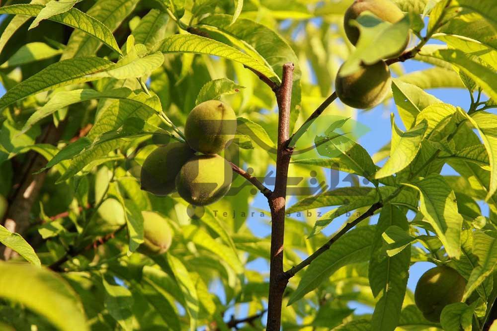 هلو رقم Prunus ferganensis