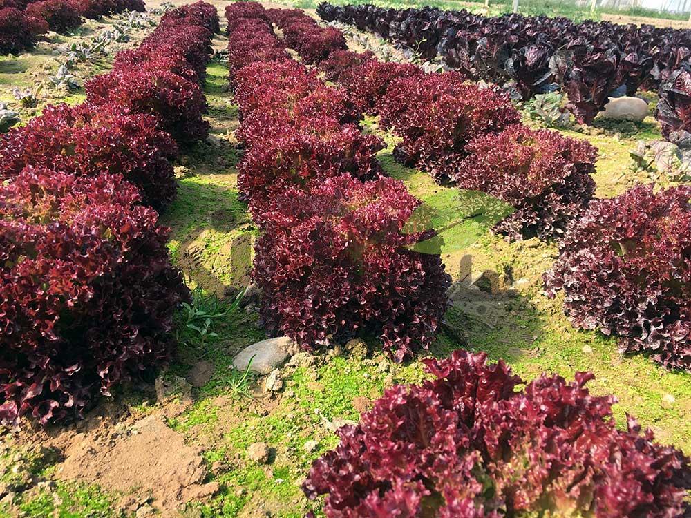 کاهو لولوروزا قرمز کشت شده در مزرعه