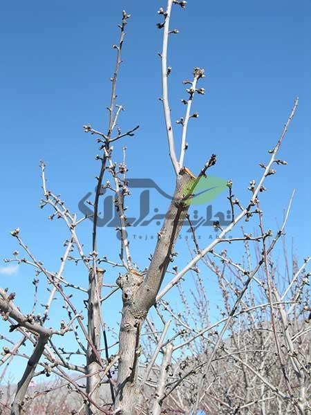 درخت هلو در حال جوانه زدن