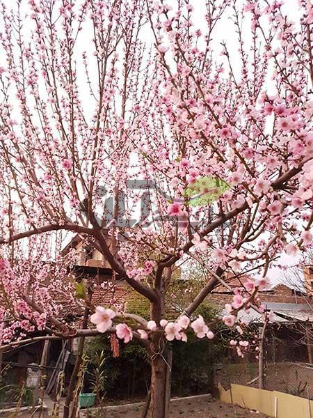 درخت هلو درحال شکوفه دهی
