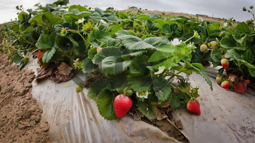 بوته توت فرنگی رقم کالیفرنیا