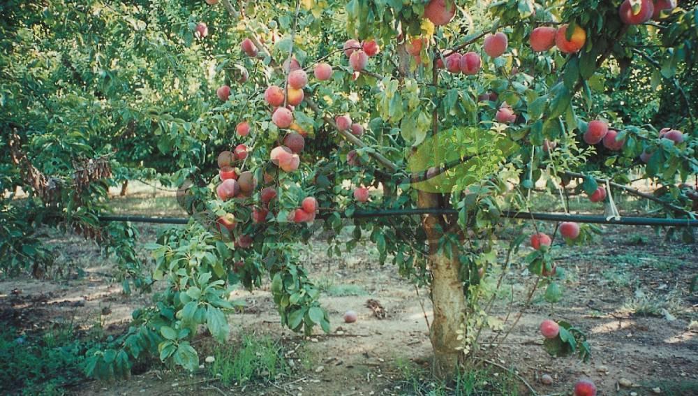 باغ هلو با میوه های رسیده