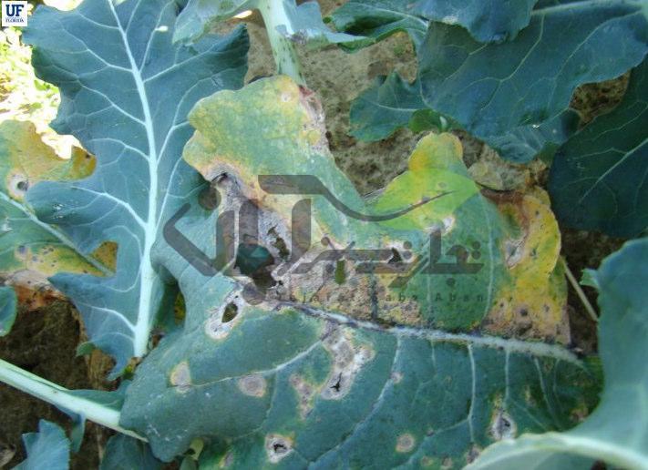 بیماری قارچی آلترناریا بروکلی