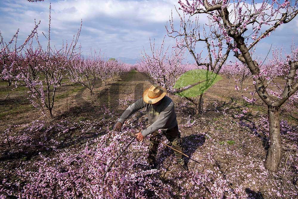 هرس سبز درخت هلو با شکوفه