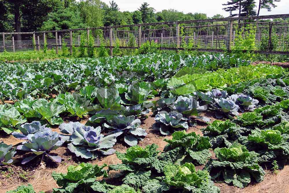باغچه سبزیجات و صیفی جات