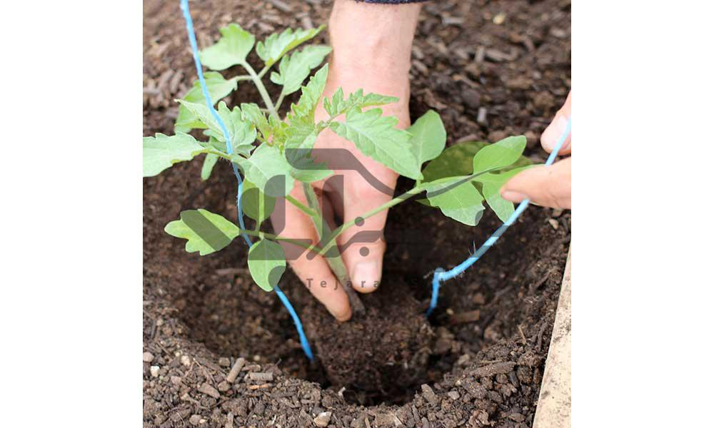 کشت نشاء گوجه فرنگی در خاک