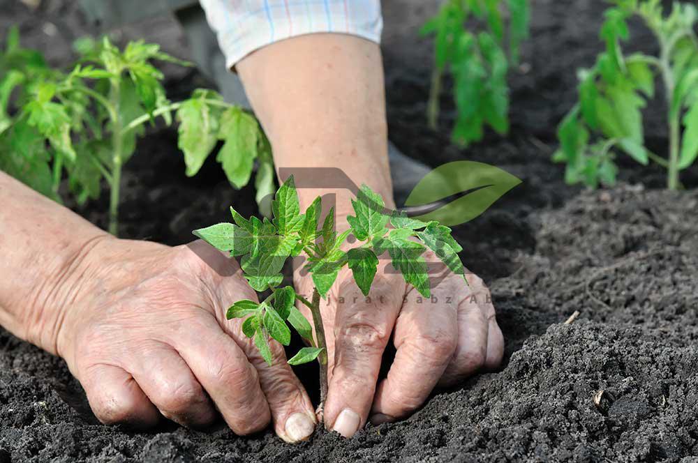 کاشت نشاء گوجه فرنگی در زمین اصلی