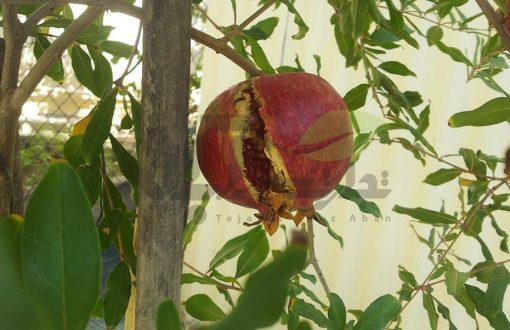 ترک خوردگی میوه انار