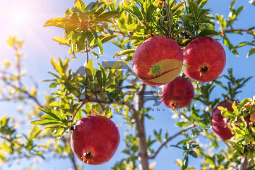 هرس صحیح میوه انار